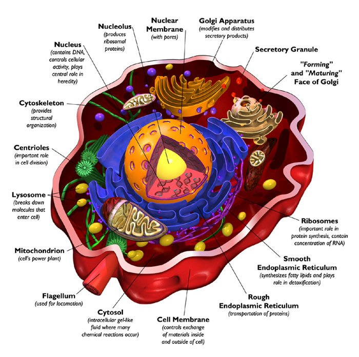 animal cell parts diagram. Animal Cell Parts Labeled